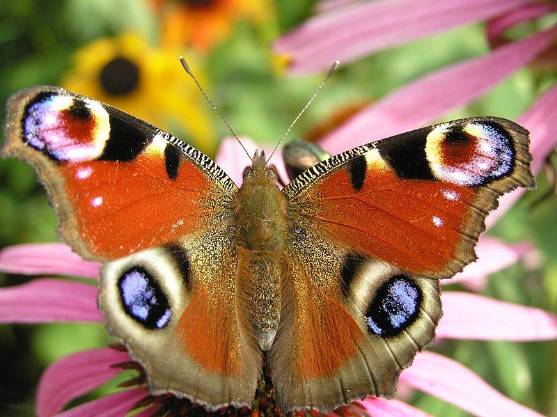 fluturi,fluture